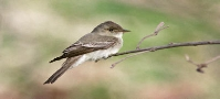 Eastern Wood Pewee F1