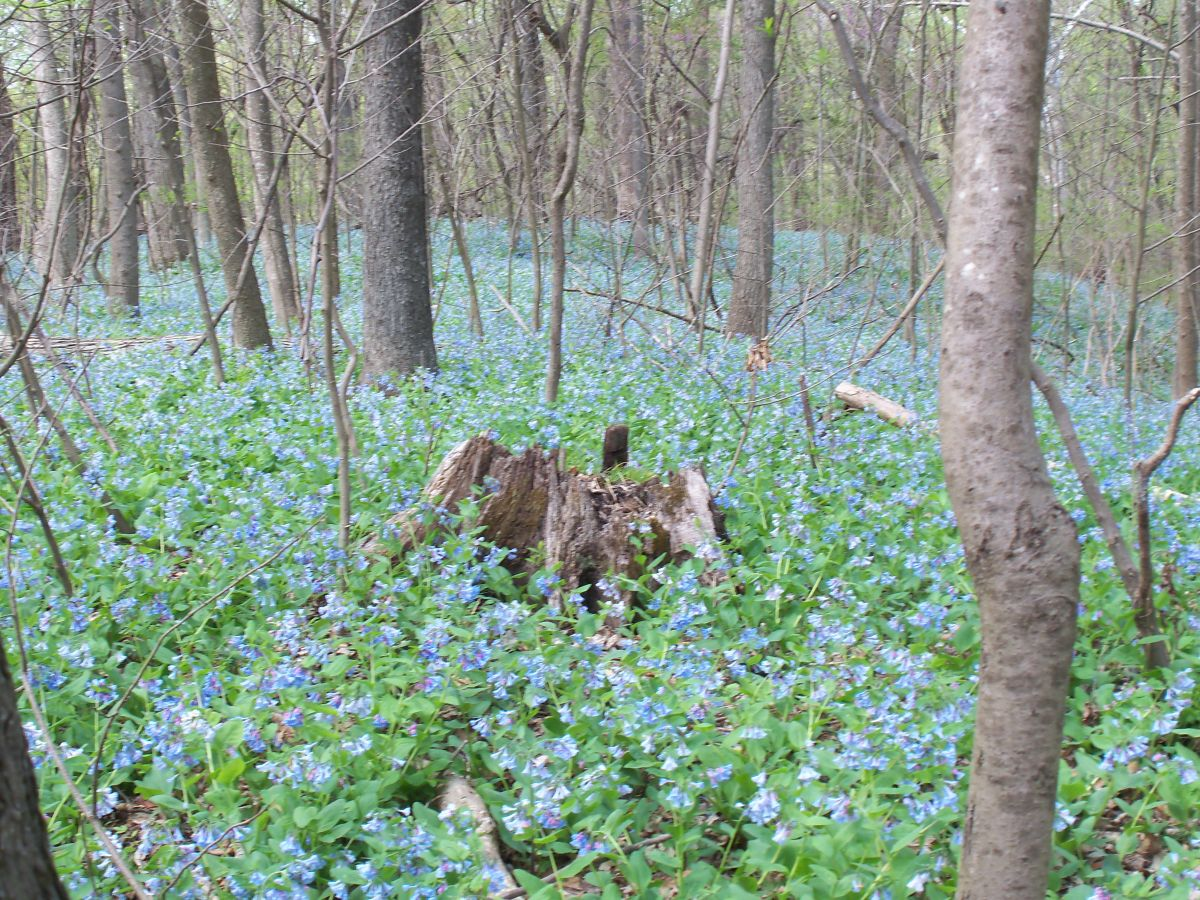 Bluebells and spring 006.jpg