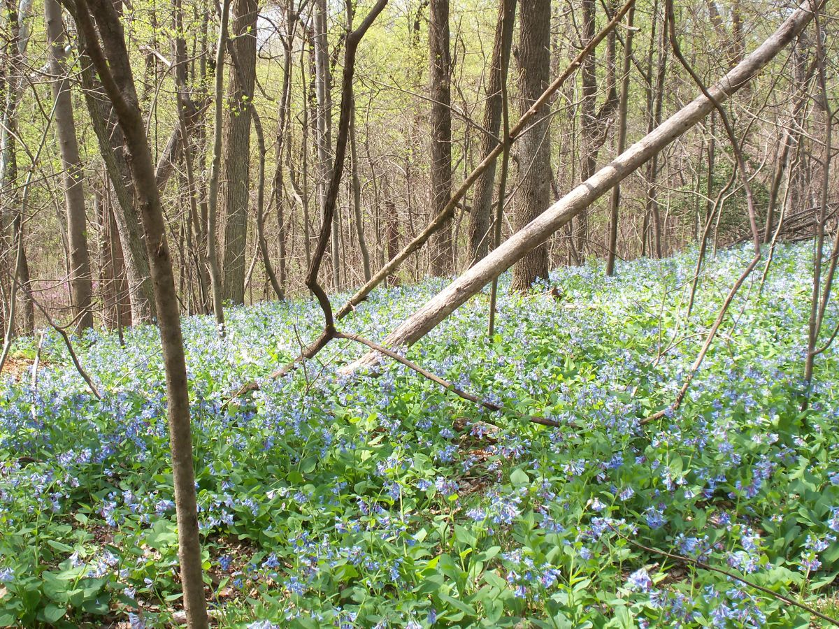 Bluebells and spring 008.jpg