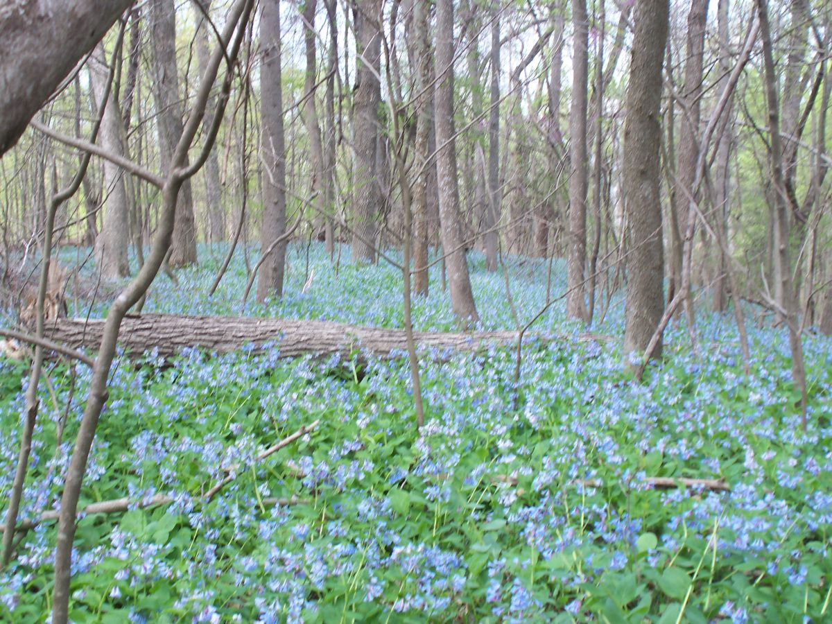 Bluebells and spring 013.jpg